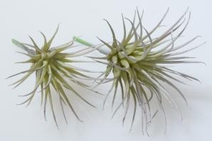 Tillandsiapick grün 8cm  6Stk