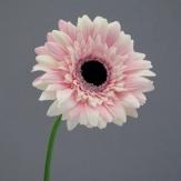 Gerbera Stiel 47cm rosa 12St.