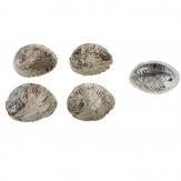 Abalone Muschel natur 15x13cm 1Stk
