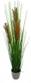 Gras blühend im Topf  - 77cm 1Stk