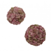 Sedumball pink-grün in zwei Größen